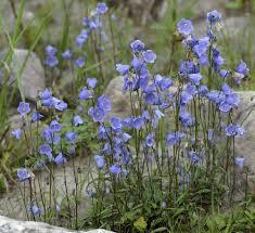 Fairy's-Thimble (Campanula cochleariifolia) · iNaturalist.org