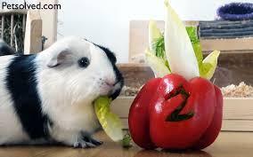 What Do Guinea Pigs Eat Guinea Pigs Food Chart Petsolved Com