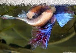Ciri Ciri Ikan Cupang Halfmoon Jantan Dan Betina