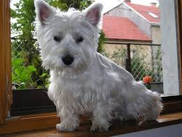 West Highland Terrier Growth Chart Growth Westies Puppy Weight Chart Westies