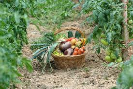 Kitchen Garden Produce Harvest Of Vegetables And Fresh Produce Garden Stock Photo