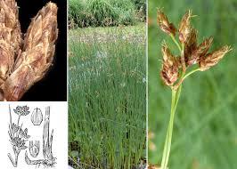 Schoenoplectus lacustris (L.) Palla - Sistema informativo sulla flora ...