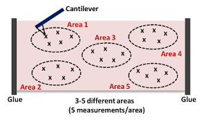Cartoon Of A Cantilever Approaching And Indenting The Tissue