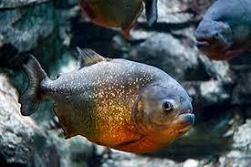 amazon river piranha.  Amazon Redbellied Piranha Inside Amazon River Piranha