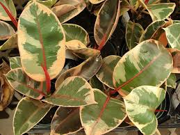 plain green rubber plants are more popular but you can still find ones with attractive variegation