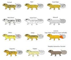 Leopard Gecko Size Chart Common Leopard Gecko Morphs Poster By Christywoowoo