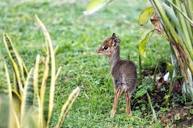 Things You Didn't Know About The Dik Dik: Africa's Cutest Antelope