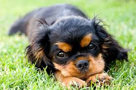 cavalier king charles spaniel black and tan puppy. Perfect Cavalier Cavalier King Charles Spaniel Puppy Lying In The Grass Outdoors To Black And Tan Puppy
