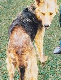 Flea Allergy Dermatitis in Dogs - Symptoms & Treatment