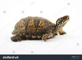 Adult Eastern Box Turtle Terrapene Carolina Stock Photo
