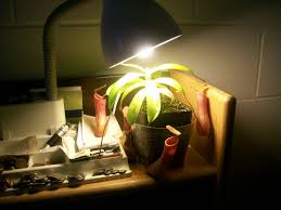 one of my carnivorous plants growing under a desk lamp in my college dorm