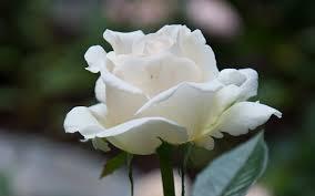 Wallpaper rose White Flowers