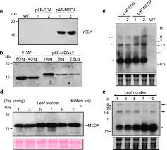 The vaccine adjuvant extra domain A from fibronectin retains its  proinflammatory properties when expressed in tobacco chloroplasts |  SpringerLink