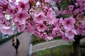 Bunga Sakura Bunga Sakura Agen Antipenuaan Rias Berita Harian