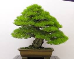 bonsai tree for office. japanese black pine bonsai tree seeds grow your own 5 for office b