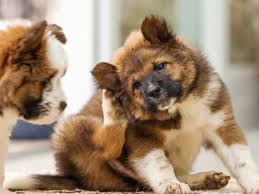 5 Common Dog Skin Problems | How to Help Your Itchy Dog | petMD