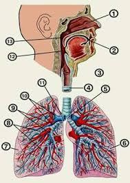 Реферат Заболевания дыхательной системы и их предупреждение  Рисунок 1 Дыхательная система человека