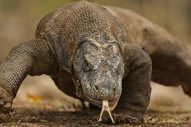 Billedresultat for komodo dragon