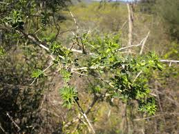 Adenocarpus complicatus - Wikipedia, la enciclopedia libre