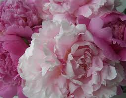 three dogs in a garden color essay number it s a pink color essay number 5 it s a pink extravaganza of peonies and roses
