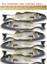 Striped bass size regulations