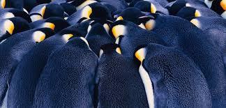 emperor penguin huddle. Unique Huddle Intended Emperor Penguin Huddle H