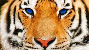 HD Blue Eyed Tiger Wallpaper