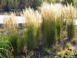 Tall Decorative Grass New Utah Gardener The Most Drought Tolerant Waterwise Ornamental