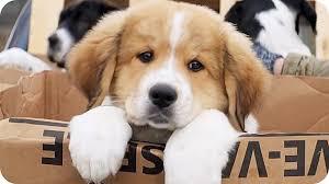 a dog s purpose bailey.  Bailey An Error Occurred With A Dog S Purpose Bailey P