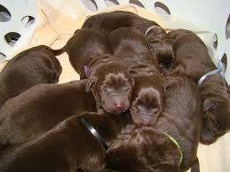 retriever puppies jacksonville fl