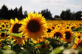 Ein Strahlen Der Sonnenblume Macht Aus Jedem Tag Einen Schönen Tag