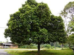 Pohon Manggis (Garcinia mangostana L.)
