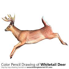 White Tailed Deer Colored Pencils Drawing White Tailed