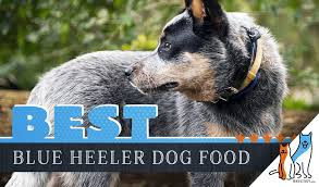 15 Best Dog Foods For Blue Heeler Australian Cattle Dog