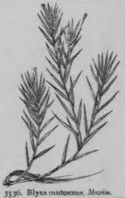 Blyxa japonica – Wikipedia