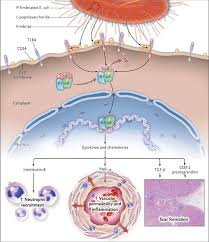 Pathophysiology Of Pyelonephritis In Flow Chart Pathophysiology Of Acute Pyelonephritis Download