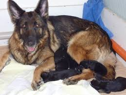 german shepherd newborn puppies.  Shepherd From What I Can Remember These Photos Are Of The Puppies Somewhere Between  Birth And 10 Days Old The Quality Is Not Greatest But Hopefully You  In German Shepherd Newborn Puppies