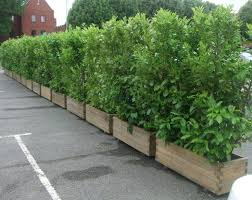 Screening plants in planters to contain growth when dealing with bamboo  hedges