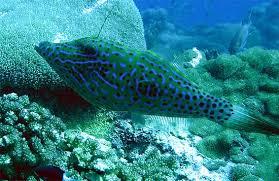 scrawled filefish. Brilliant Scrawled Scrawled Filefish Live In Subtropical Waters Image  Brian Donahue In Filefish R