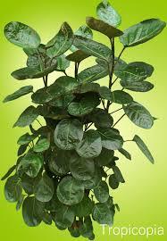 leathery round green balfour aralia to enlarge