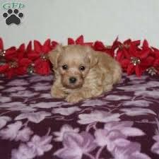 a morkie poo puppy named teresa