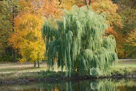 Image result for weeping willow tree