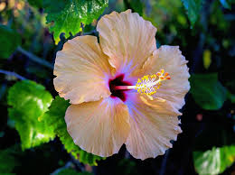 hibiscus flowers hibiscus flower plant free photo on pixabay