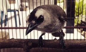 Gambar jenis spesies burung trucukan di dunia. S Download 6 Suara Burung Trucuk Gacor Mantap Muraisuper Com