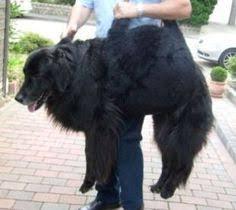 Mit dieser praktischen tragehilfe helfen sie ihrem kranken hund beim treppen steigen, beim einsteigen in den kofferraum oder ins auto. 19 Hunde Tragehilfe Ideen Tragehilfe Hunde Tragen