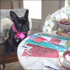 the celebrity pets almost as famous as their owners daily mail  lady gaga s adorable black french bulldog miss asia kinney has modelled in a coach