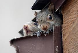 squirrel in ceiling. Fine Squirrel Pest Control New Jersey 7323094209  Exterminating Bed Bugs Termites  Carpenter Ants Hornets Bees Squirrels Mice Stinkbugs  With Squirrel In Ceiling E