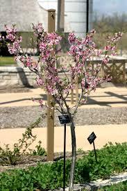 True Cherries XFruit Trees In Michigan