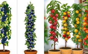 columnar fruit trees ideal for growing in tubs on patios or balconies
