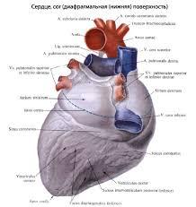 Сердце человека Анатомия Сердца строение функции картинки на  Средние размеры его длинник 12 13 см наибольший поперечник 9 10 5 см переднезадний размер 6 7 см Масса сердца мужчины равна в среднем 300 г 1 215